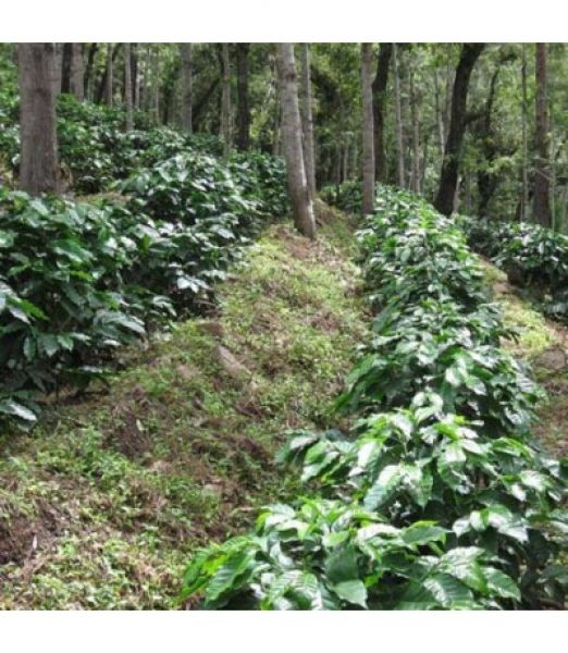 Guatemala - Finca El Morito - Single Origin Coffee