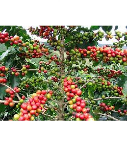 Uganda - Sipi Falls - Single Origin Coffee