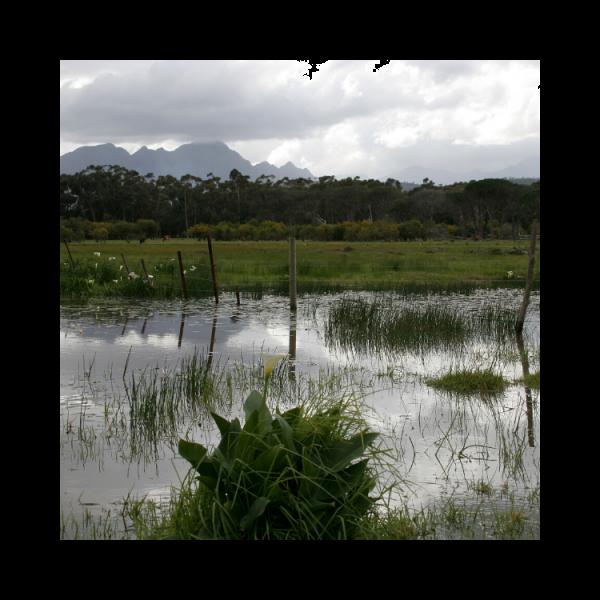 Waterblommetjie - punnet - 400g